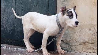 نتيجة-تحسن-الجراء-المهجنه-من-كلب-البلدغ-والبيتبول-bulldog-hybrid-pitbull-مع-جمال-العمواسي