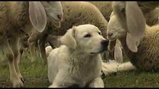 Bianchi come Pecore coraggiosi come Lupi (Life WolfAlps)