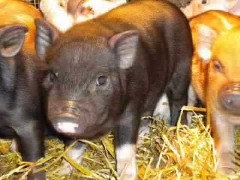 AllTheFunIn1.com / Miniature Teacup Pigs For Sale, Mini, Micro Piglets For Sale!