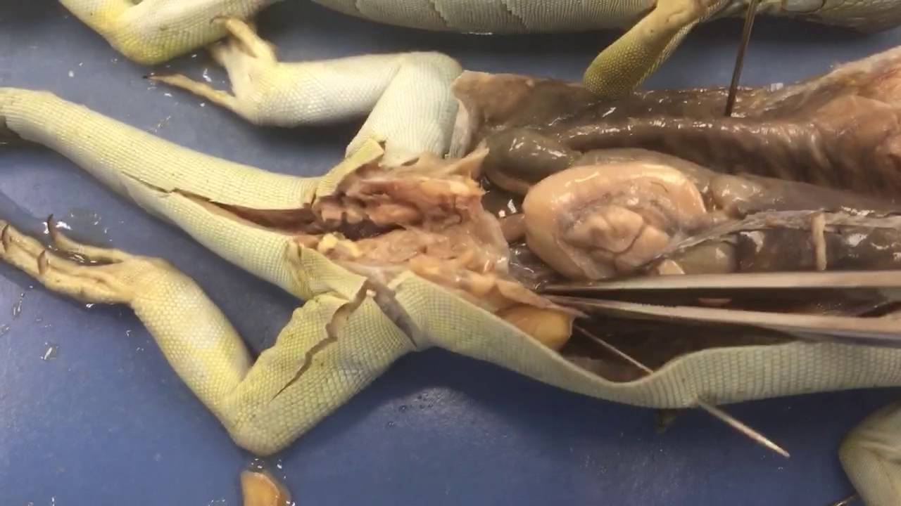 Lizard dissection anatomy - YouTube