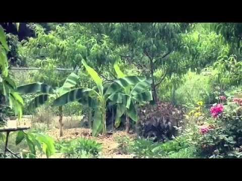 Fruit tree planting, roots from permaculture nursery, it matters
