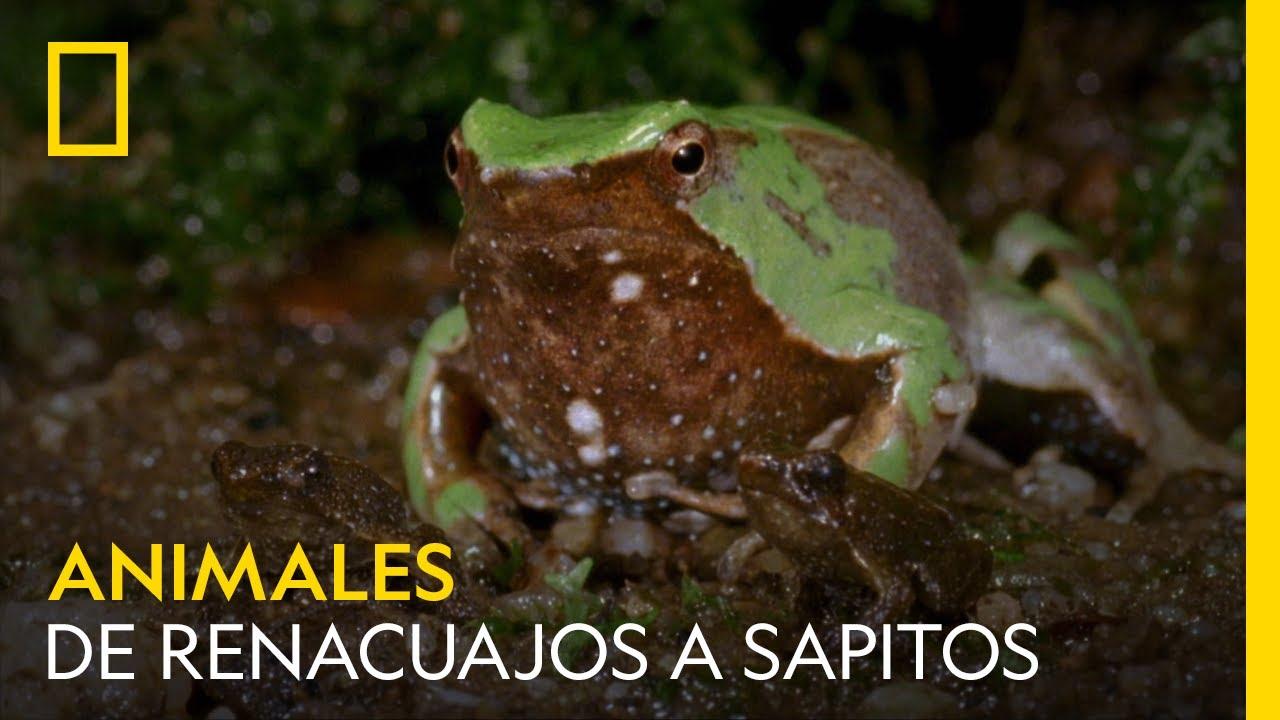 Así se transforman estos renacuajos en sapitos | NATIONAL GEOGRAPHIC ESPAÑA