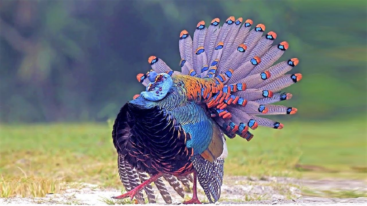 10 Most Beautiful Turkeys In The World