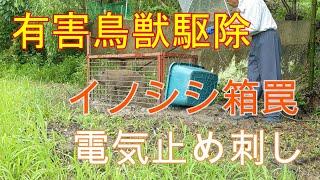 20200704[有害駆除]【閲覧注意】イノシシ電気止め 7/2に続き連続捕獲 Wild boar box trap