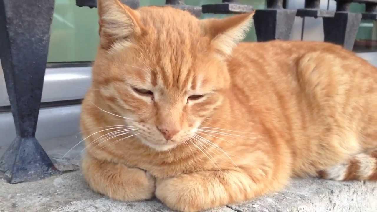 Magnifique Chat roux qui nest pas bien réveillé