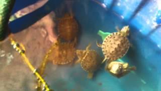 Crias de tortuga pavorreal (trachemys venusta)
