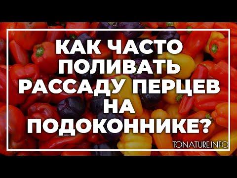 Как часто поливать рассаду перцев на подоконнике?   toNature.Info   размножение   ухаживать   вырастить   домашних   условия   перцев   дома   как   ус   в