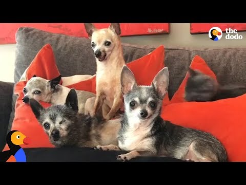 Senior Chihuahua Dogs Enjoy Retirement With New Mom   The Dodo