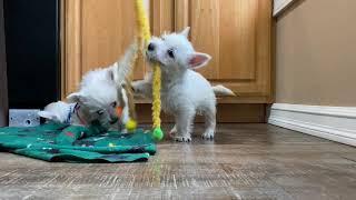 West Highland White Terrier Kylie's Puppies Farewell Video #westies #westhighlandwhiteterrier
