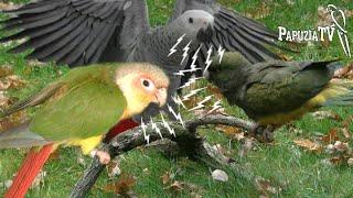 Papugi nie muszą być hałaśliwe