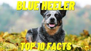 Blue Heeler  10 Facts About The Australian Cattle Dog