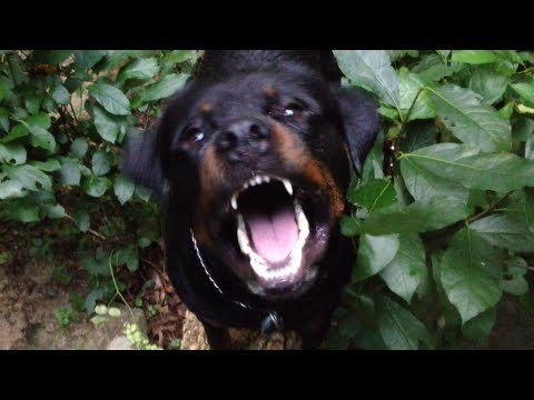 The Rottweiler Movie Trailer Youtube