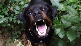 The Rottweiler (movie Trailer)