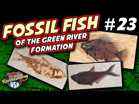 Fossil Fish Collecting BONANZA From Fossil Safari In Wyoming! (Fossils Of The Green River Formation)