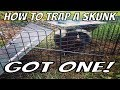 How to Trap a Skunk Trapping Tips and Bait Wildlife Removal