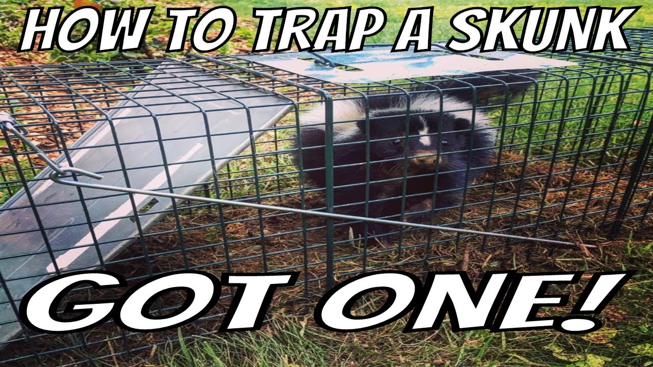 how to trap a skunk trapping tips and bait wildlife removal youtube