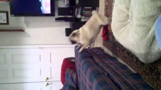 Fat Pug Fails To Jump On Couch. Haha