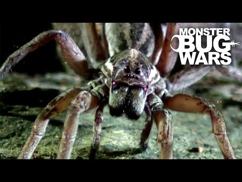Sydney Funnel Web Vs Wolf Spider | MONSTER BUG WARS