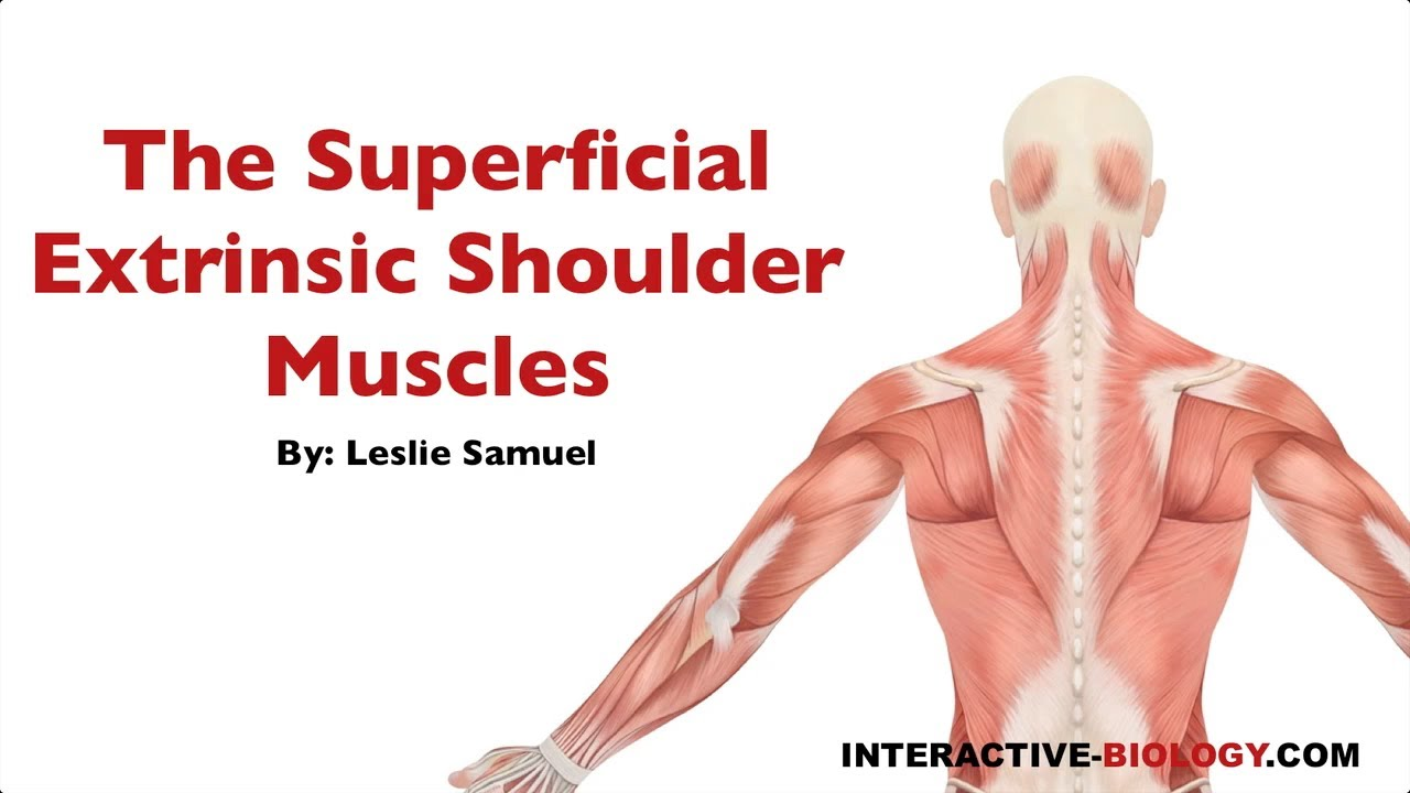 087 The Superficial Extrinsic Shoulder Muscles Youtube