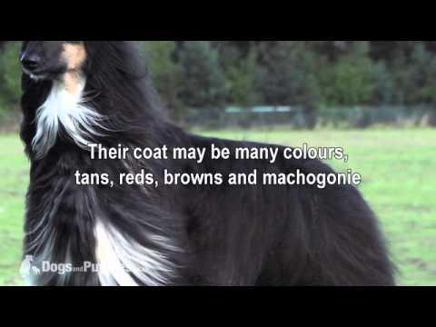Afghan Hound Breed Guide