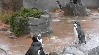 グレープ君の定位置に立つクロキリ (東武動物公園)