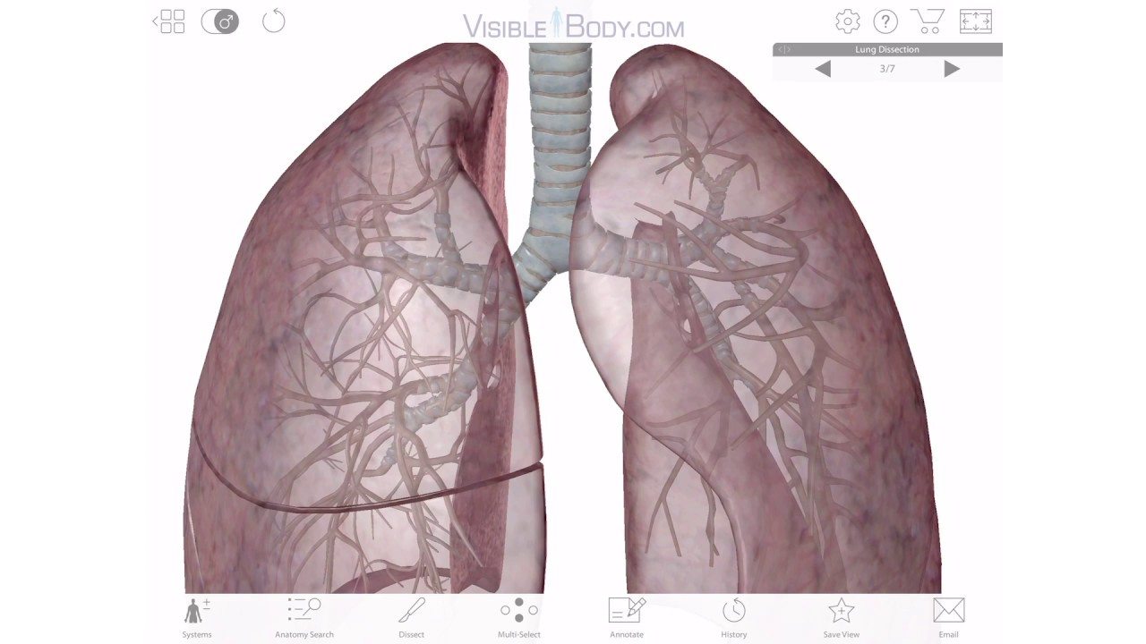 hight resolution of diagram of anatomy of lung