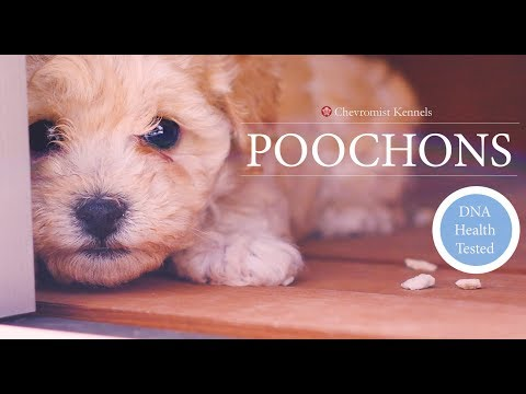 Poochon Puppies