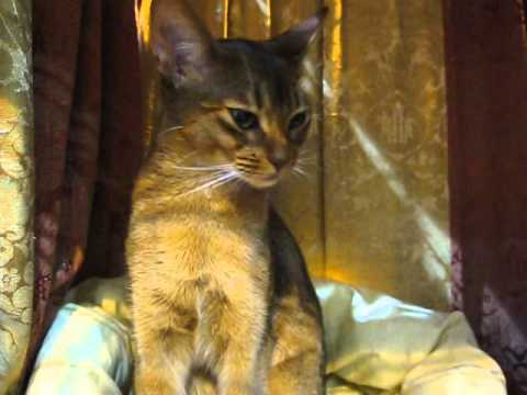 Abyssinian on cat show 12.03.11