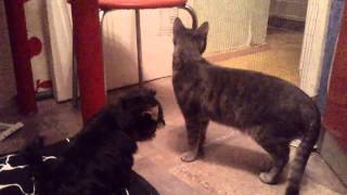 Йорк-первое знакомство с котом)))