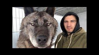 EL LOBO Mas GRANDE Del Planeta, El Lobo Canadiense   Mascotas Mas Extremas