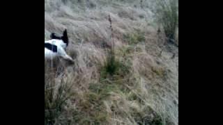 Springer Spaniel Hunting .dearneside Gundogs