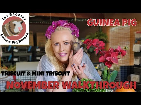 November Weekly Guinea Pig Walk Through, And Check In With Special Needs