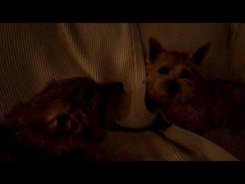 Norfolk Terriers Hey You Flinched