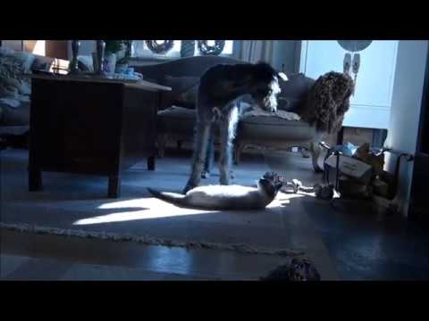 cat vs scottish deerhound