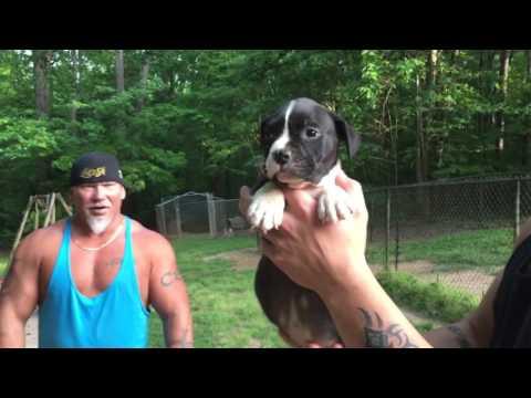 Carolina bully farms moneyline puppies avail spring 2016