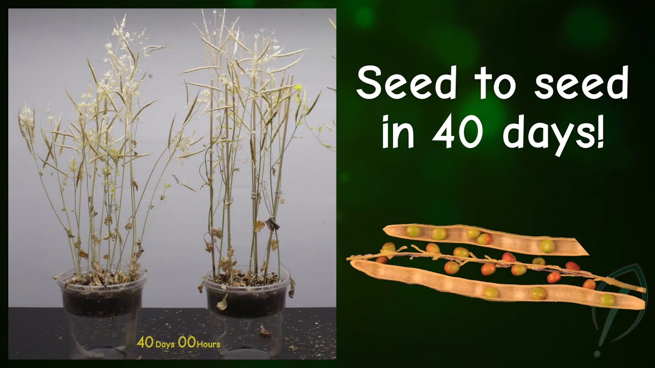 wisconsin fast plants u00ae life cycle