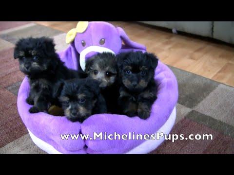 Yorkie Poo - Micheline's Pups