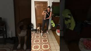 Meeting baby boxer sister for the first time!
