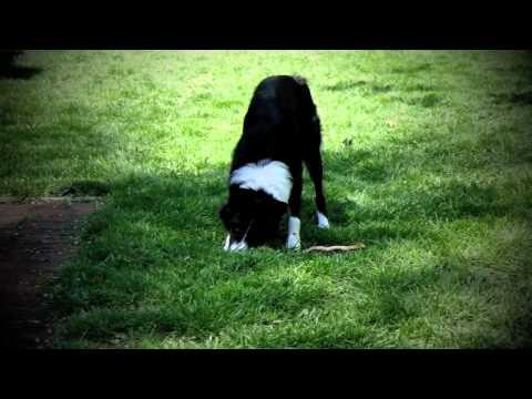 Dahy - Nebraska Border Collie Rescue