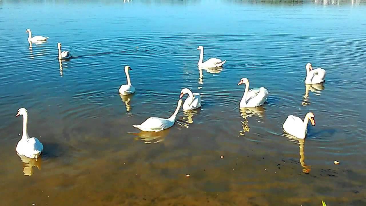 Лебеди. Белые лебеди на воде. Стихи про лебедей. Футажи ...