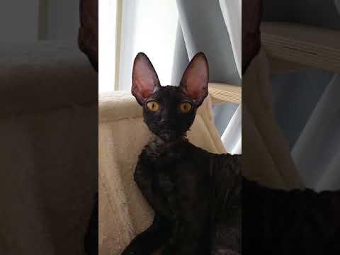 Cornish Rex Cat! My black Panther& My beautiful Angel!