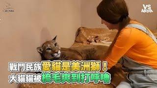 戰鬥民族愛貓是美洲獅大貓貓被梳毛爽到打呼嚕《VS MEDIA》