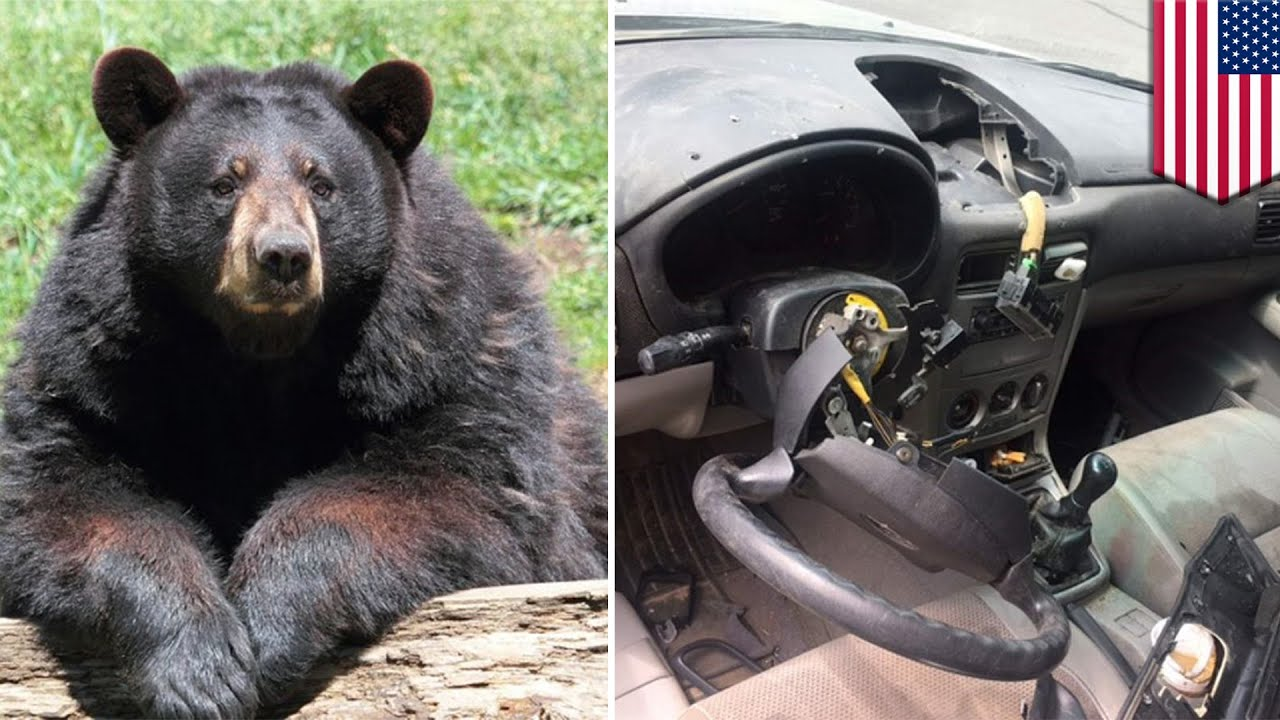 bear in car bear hijacks suv for a drive then crashes into a