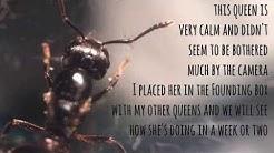Acrobat Ant Queen! (Crematogaster sp.)