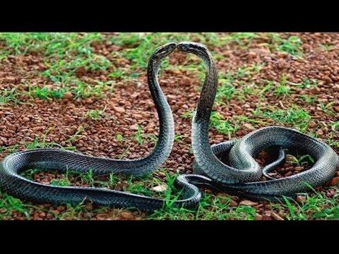 Snake Dance At Forest | Tirumala | Real Naag Nagin Dance caught on camera