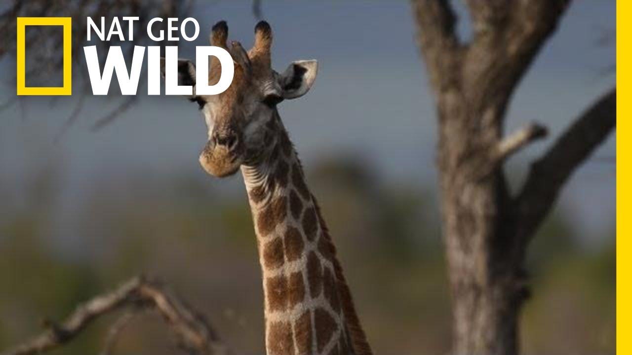 Download Giraffes 101   Nat Geo Wild