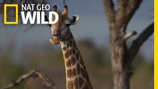 Giraffes 101 | Nat Geo Wild