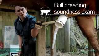 Repeat youtube video Reproductive Bulls Bull Breeding Soundness Exam 222