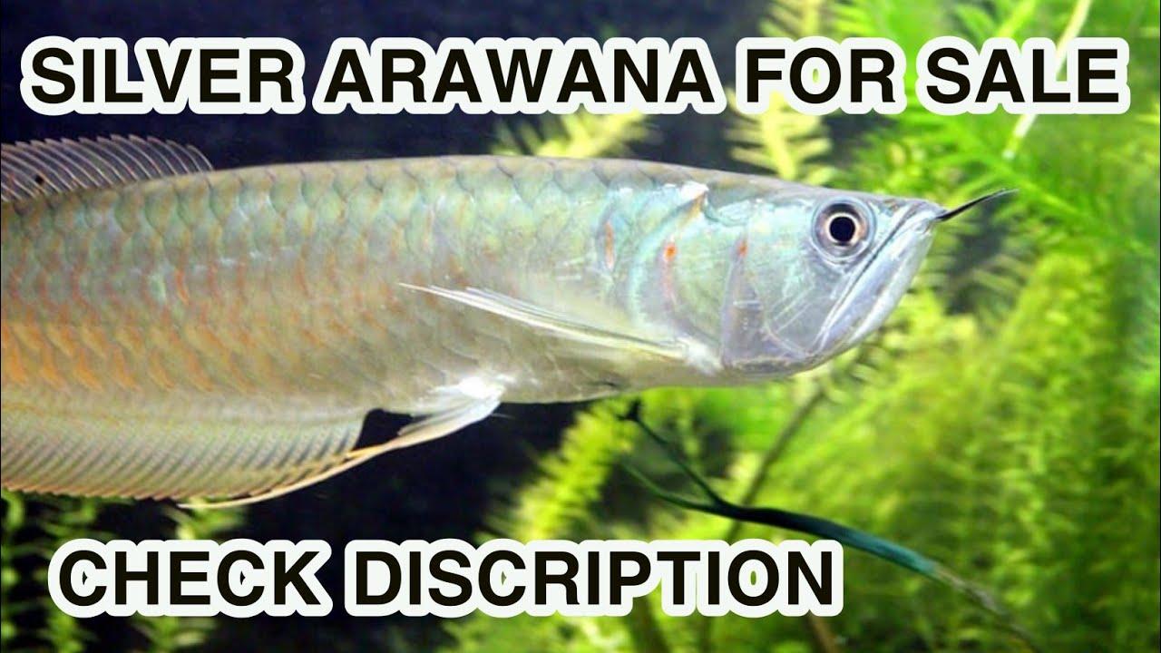 Silver arawana for sale only in tirunelveli