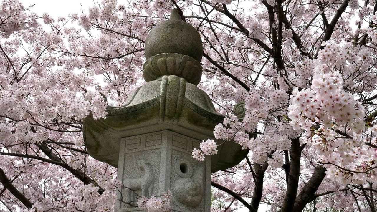 Mekarnya bunga sakura